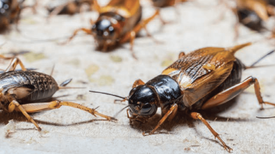 cricket insect facts